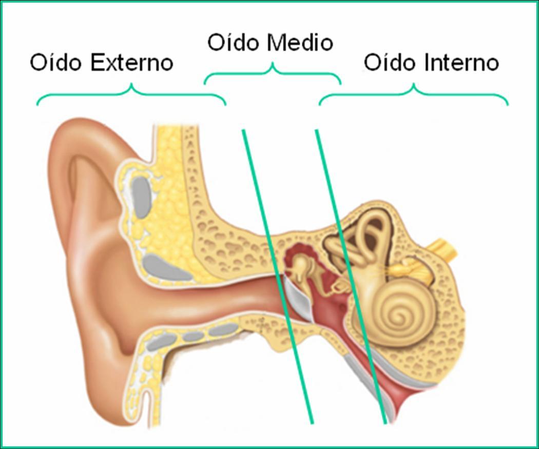 anatomia de oido 03
